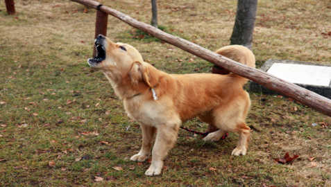 Aggressiveness in Golden Retrievers