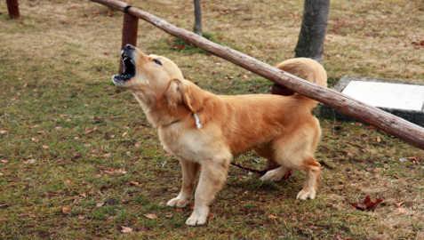 Aggressiveness in Golden Retrievers