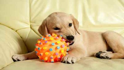 Stop Golden Retriever Puppy Biting