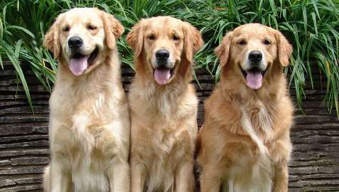 The Must Know How of Golden Retrievers Training